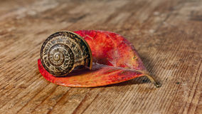 Snail on red leaf Stock Images