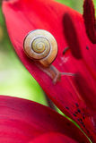 Snail and red lily flower Stock Photography