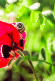Snail on a red poppy Royalty Free Stock Photo
