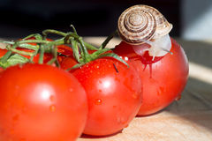 Snail on red tomatoes. Snail crawling on a red tomato Royalty Free Stock Photography