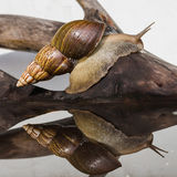 Snail on a reflecting surface Royalty Free Stock Photos