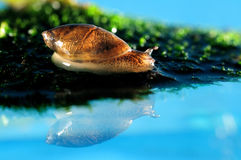Snail reflection Royalty Free Stock Images