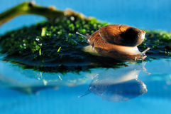 Snail reflection Stock Images