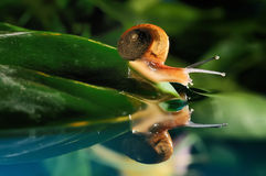Snail reflection Royalty Free Stock Image