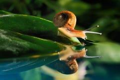 Snail reflection Royalty Free Stock Image