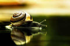 Snail with reflection Royalty Free Stock Image