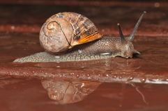 Snail reflectionn the rain Royalty Free Stock Photos