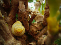 Snail Resting Royalty Free Stock Images