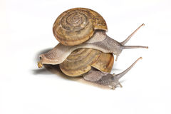 Snail. Riding on a white background are moving slowly Royalty Free Stock Photos