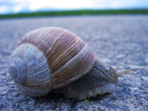 Snail on the road. A small snail traveling on the road stock photo