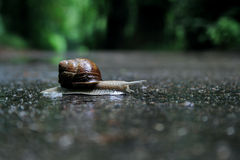 Snail on the road. Snail catched during walking out by road, looks as passer-by Stock Photos