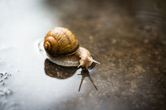 Snail on the road after the rain Royalty Free Stock Images