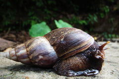 Snail on Rock Stock Photography