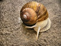 Snail on a rock Royalty Free Stock Photos