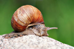 Snail on rock Royalty Free Stock Image