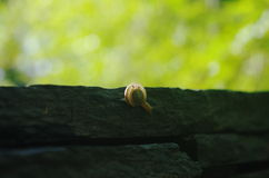 A snail on rock. A snail is at the edge of rock Royalty Free Stock Photography