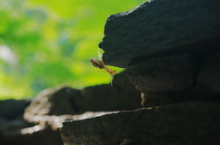 A snail on rock Royalty Free Stock Images