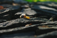 A snail on rock. A snail is at the edge of rock Royalty Free Stock Image