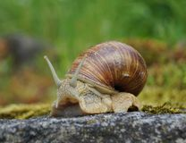 Snail on a rock Royalty Free Stock Images
