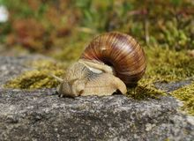 Snail on a rock Stock Image