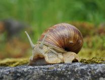 Snail on a rock Stock Photos