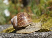 Snail on a rock Royalty Free Stock Image