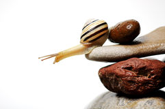Snail  on rocks. Garden snail on colorful stones on white Stock Image