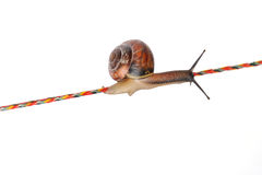 Snail on rope. Isolated on white background Stock Photos