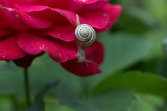 Snail, Rose, Petals, Shell, Dew Royalty Free Stock Photography