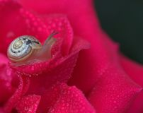 Snail, Rose, Red, Drops, Shell, Dew Stock Photo