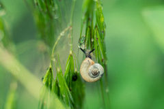 Snail on rostenii drops of dew Stock Photo