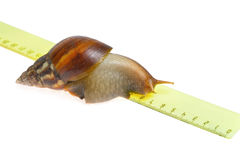 Snail on ruler. Isolated on white background Royalty Free Stock Image