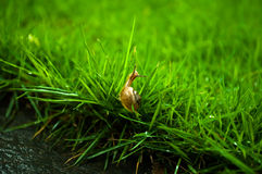 Snail's baby in green grass Royalty Free Stock Image