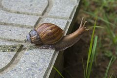 Snail with it`s broken shell crawling on the floor Stock Images