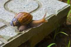 Snail with it`s broken shell. Crawling on the floor Stock Image