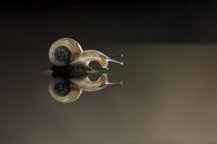 Snail's mirror Stock Photography