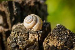 Snail`s shell on a tree Stock Photography