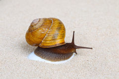 Snail on sand Stock Photography