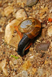 Snail on Sandy Surface around a Gorge Stock Photos