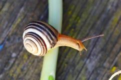 Snail on Scallion Stock Photo