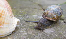 Snail and the sea shell. Snail crawling beside a sea shell Royalty Free Stock Photos