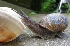 Snail and the sea shell. Curious lonely snail climb on a sea shell Royalty Free Stock Photography