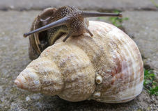 Snail and the sea shell Royalty Free Stock Photography
