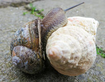 Snail and the sea shell. Curious lonely snail climb on a sea shell. Two similar spirals Royalty Free Stock Images