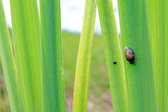 Snail on sedge Stock Photos