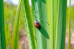 Snail on sedge Stock Photo