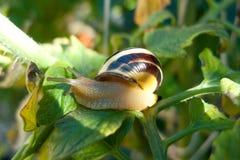Snail on a sheet. A snail grawl on a sheet Royalty Free Stock Photo