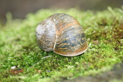 Snail shell. Close up of a snail on green moss Royalty Free Stock Photos