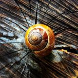 Snail Shell. Royalty Free Stock Photography