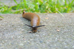 Snail without a shell Royalty Free Stock Photography